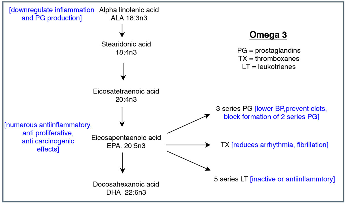 This diagram shows the cascade of omega-3 metabolism and eicosanoids. Adapted from Vasquez A.